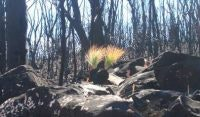 Green Regrowth and grass trees, Mt William, pic. Helen Marshall