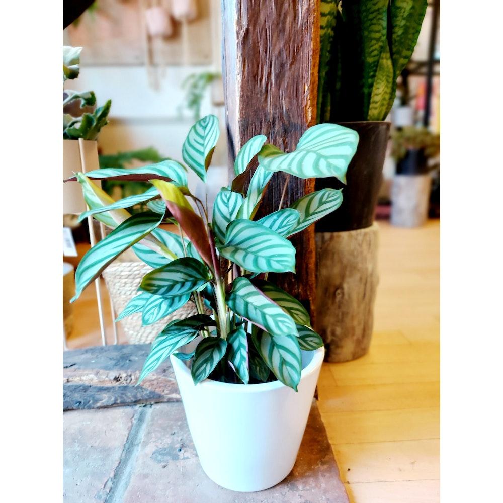 Pretty Cactus Plants  Never Never Plant / Ctenanthe Compactstar - Live House Plant In 13cm Pot. Pet Safe