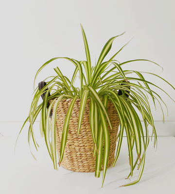 spider-plant-png