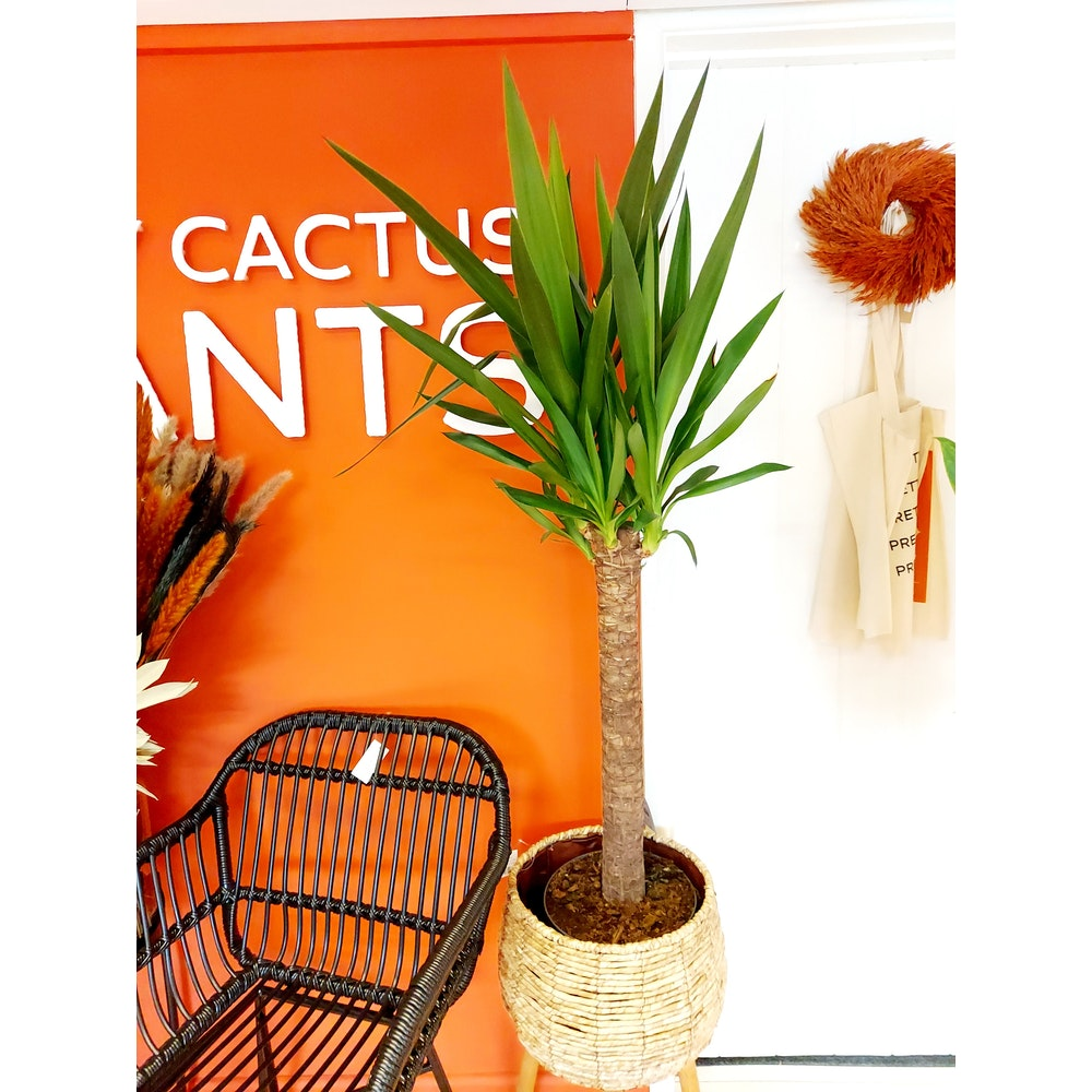 Pretty Cactus Plants  Yucca Tree - Live Easy Care House Plant In 24cm Pot. Approx 1.5m Tall. 1 Stem. (including Nursery Pot). Tall Houseplant.