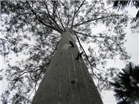 A spotted gum reaches for the sky. The mighty trees are part of the landscape at Cania and Carnarvon National Parks