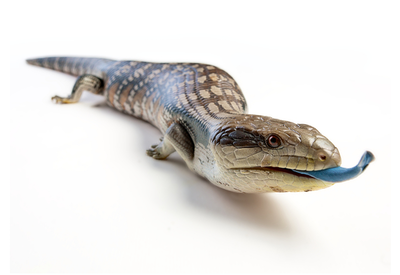 blue-tongue-lizard-bucket-image-png