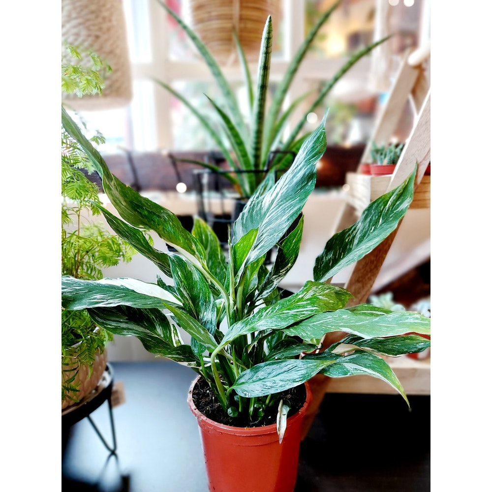 Pretty Cactus Plants  Variegated Peace Lily / Spathiphyllum Diamond Variegata - Easy Care, Air Purifying Houseplant In 14cm Pot.