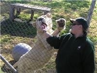 White lions are endangered in the wild - Mogo Zoo
