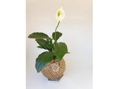 Peace lily kokedama MEDIUM