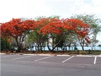 Flame Trees, Fannie Bay, Darwin NT