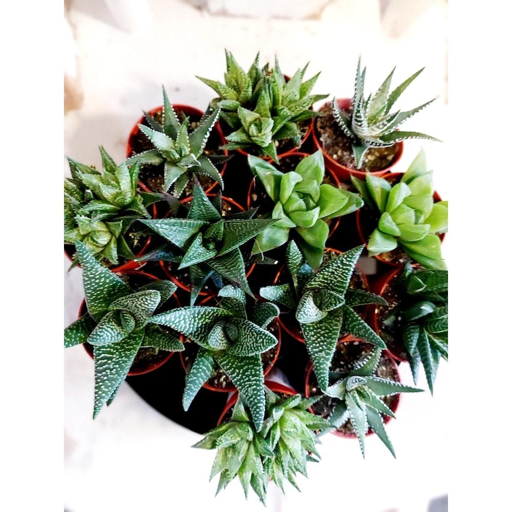 Pretty Cactus Plants  Set Of 3 Haworthia Plants - Get 3 Easy Care Houseplant At Random. In 5.5cm Pot. Pet Safe.