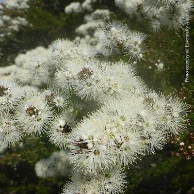 Soularoma Aussie bush essential oil blend