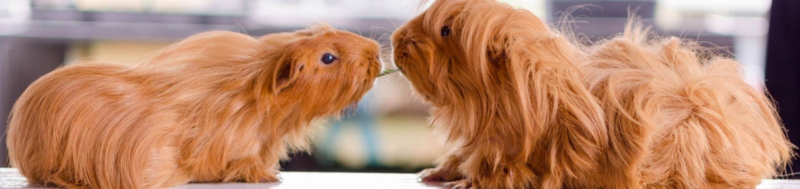 Caring for Your Guinea Pig: What You Need to Know