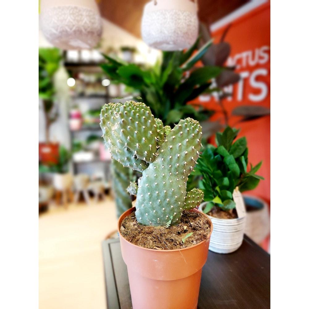 Pretty Cactus Plants  Road Kill Cactus / Consolea Rubescens - Cool Cactus In 14cm Pot.