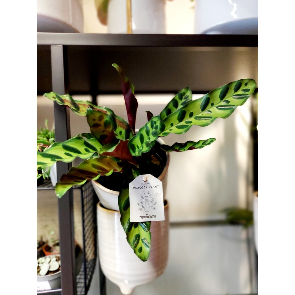 Pretty Cactus Plants  Rattlesnake Plant / Calathea Insignis - Trendy Houseplant In 11cm Pot. Pet Safe.