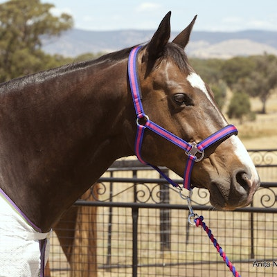 Capriole Equestrian Rose & Royal Blue Halter and Lead Rope Set