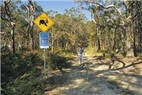 The bushwalks introduce koalas