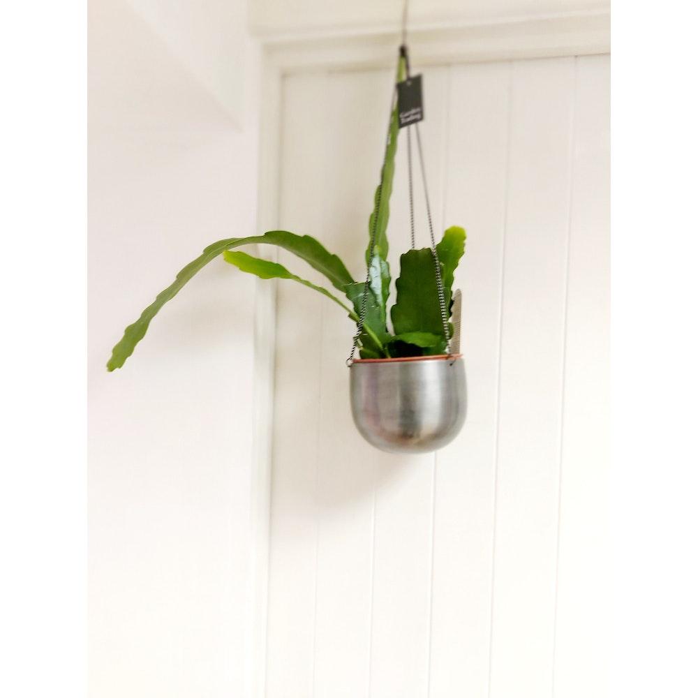 Pretty Cactus Plants  Beaver Tail Cactus / Epiphyllum Beavertail - In 12cm Pot. Pet Safe.