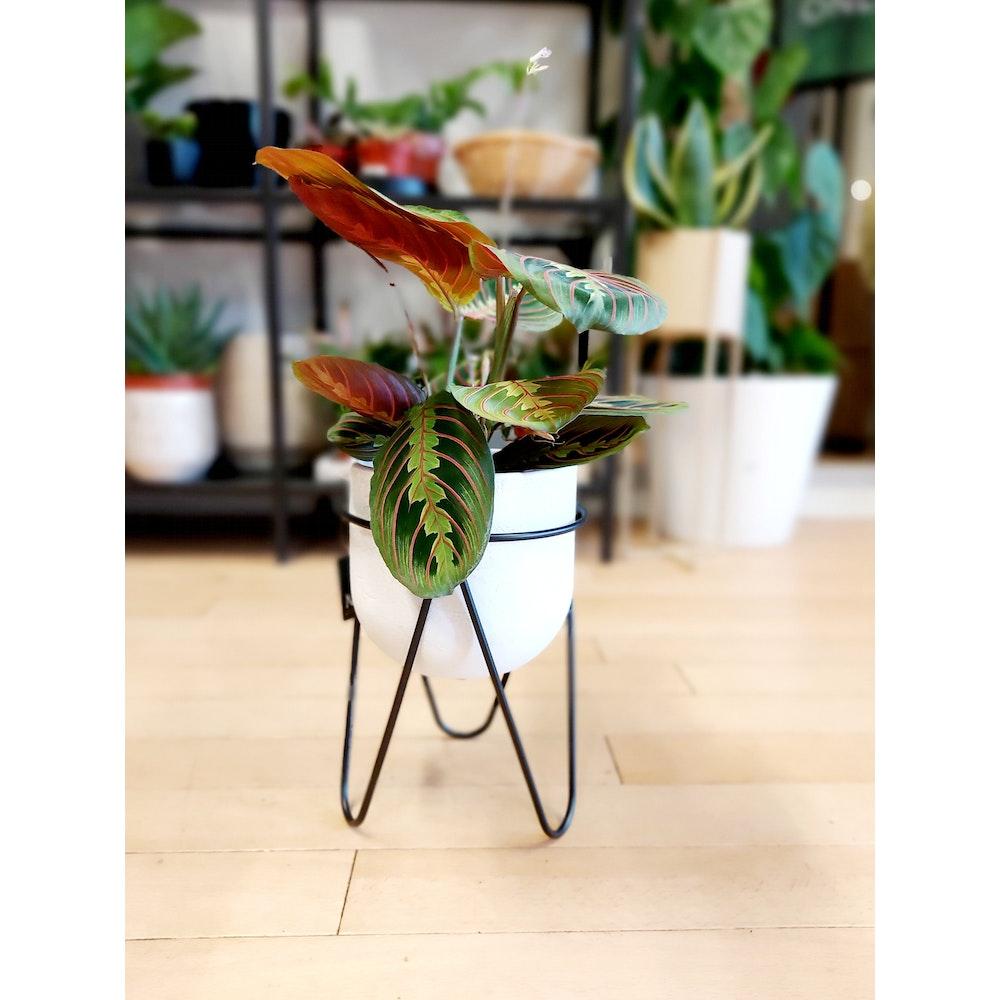 Pretty Cactus Plants  Black Metal Plants Stand With 3 Legs - H21cm X D17cm