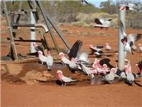 Galahs flock to drinking water Canning Stock Route