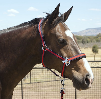 Capriole Equestrian Navy Blue & Red Halter and Lead Rope Set