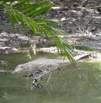 Freshwater crocodile takes it easy