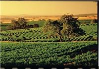 Vineyards sweep in summer green patterns courtesy Captain Cook Cruises
