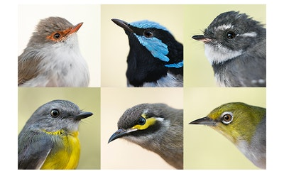 Little Birds - Set of 6 cards