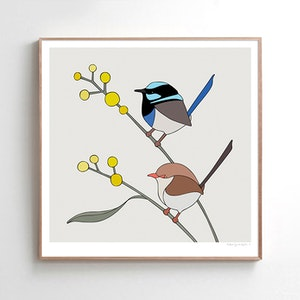 Superb Fairy-wrens & Wattle