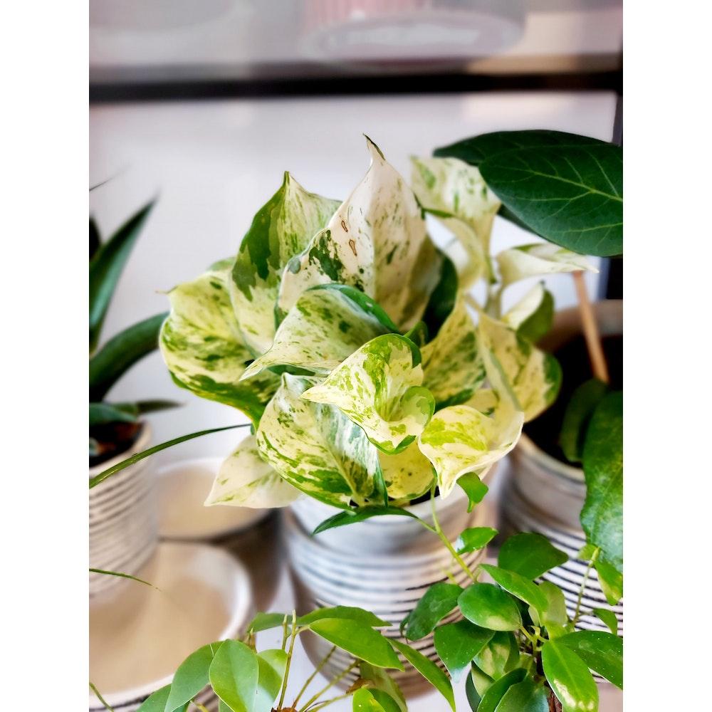Pretty Cactus Plants  Manjula Pothos / Happy Leaf Pothos - Live Trailing House Plant In 12cm Pot. Great Beginner Plant.