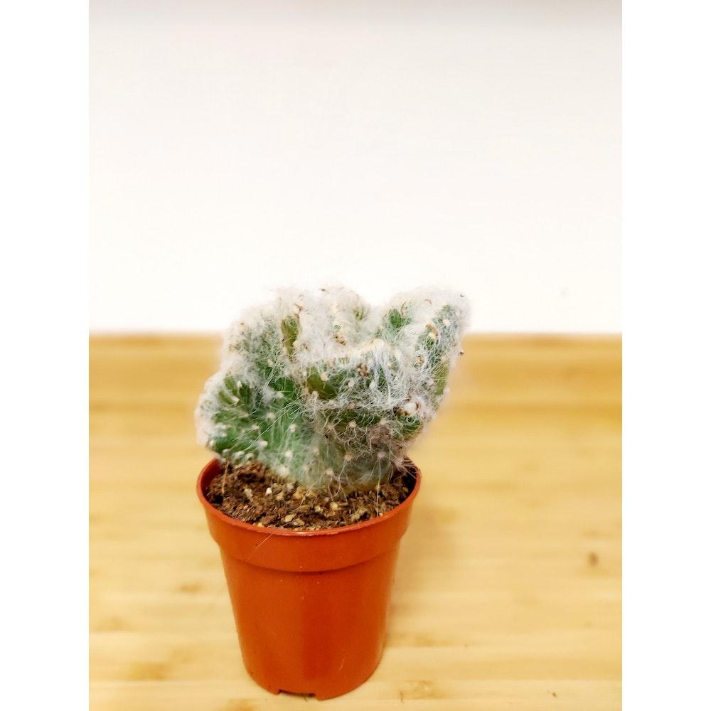 Pretty Cactus Plants  Crested Cotton Pole Cactus / Opuntia Vestita Cristata - Cute Cactus In 5.5cm Pot.