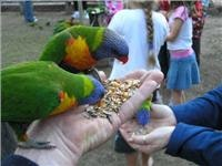 Lorikeets enjoy a  handout at Cania