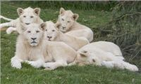 GoSee proud to know a unique pride of Gangster white lions