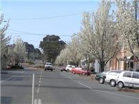 Spring blooms in the main street of Yass