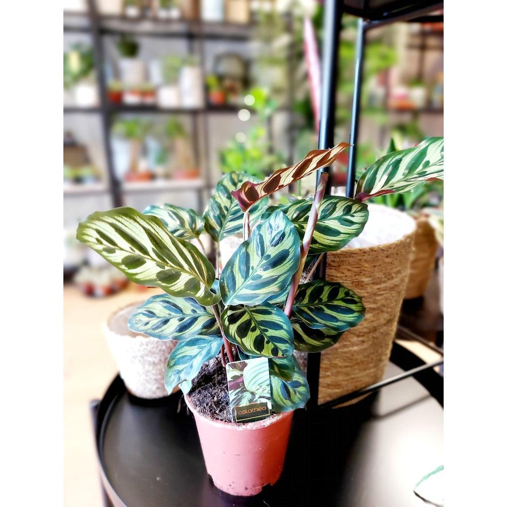 Pretty Cactus Plants  Peacock Plant / Calathea Makoyana - Live House Plant In 12cm Pot. Pet Safe