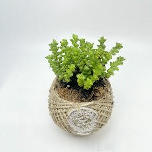 Crassula Variety Kokedama MINI