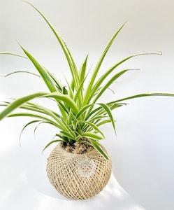 Spider Plant Kokedama MEDIUM