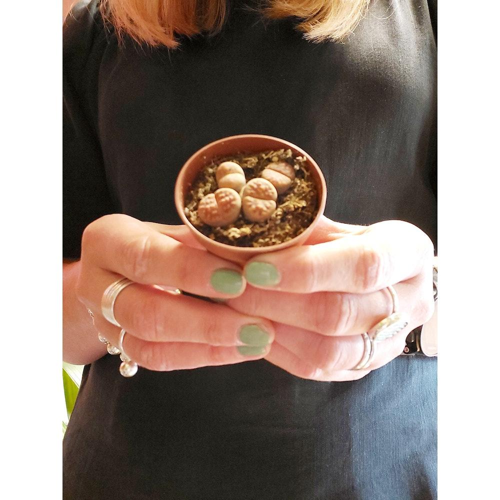 Pretty Cactus Plants  Living Stone / Lithops - Weird Succulent Plants In 5.5cm Pots. Pet Safe.