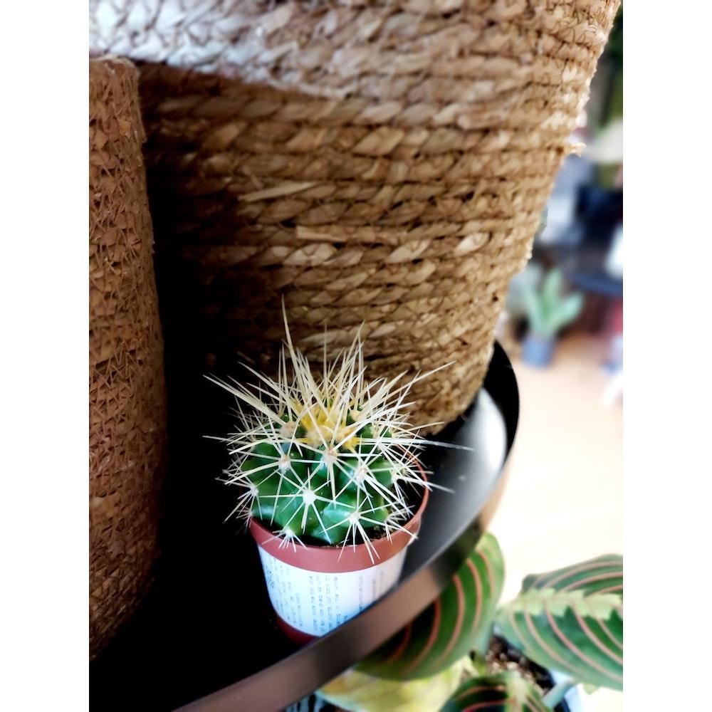 Pretty Cactus Plants  Golden Barrel Cactus / Echinocactus Grusonii - Easy Care Plant In 5.5cm Pot. Pet Safe.