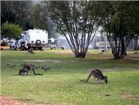 Wildlife make Halls Gap Lakeside a nature experience.