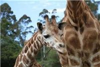 Fanana the Jet-set giraffe has a big future ahead at Orana