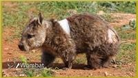 Bean Bag on the mend. The Southern Hairy Nosed Wombat was shot five times