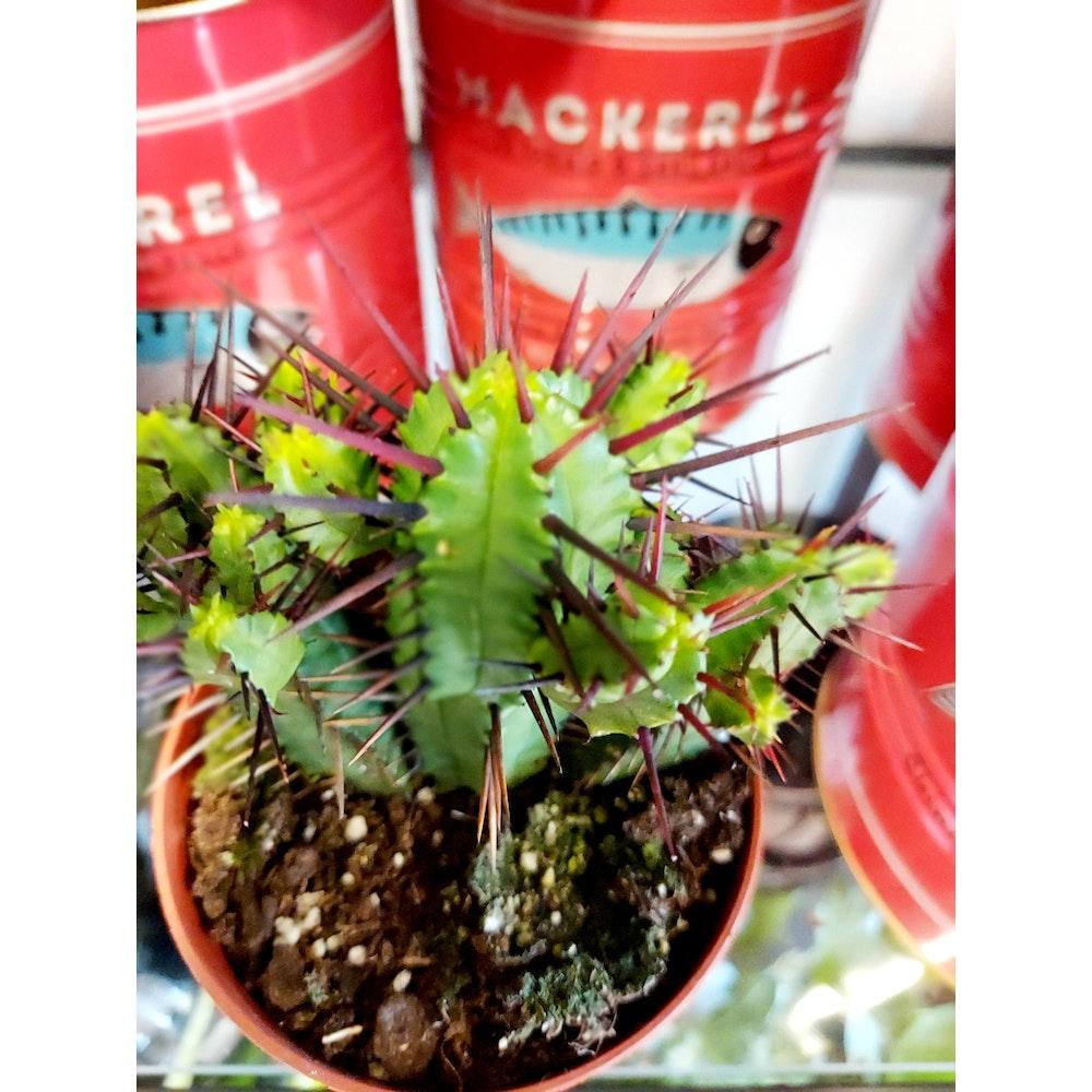 Pretty Cactus Plants  Pincushion Euphorbia / Euphorbia Enopla - Easy Care Succulent Plant In 8.5cm Pot