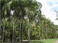 Palms by the thousands Tumbling Waters Holiday Park NT