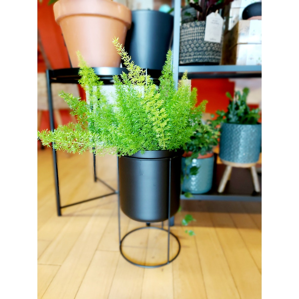 Pretty Cactus Plants  Fox Tail Fern / Asparagus Dens. 'myers' - Cool Hanging Plant In 17cm Pot.