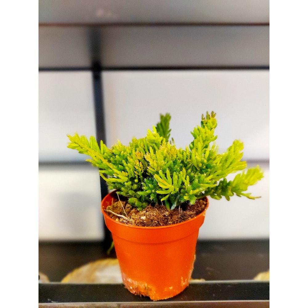 Pretty Cactus Plants  Clumpy Mistletoe Cactus / Rhipsalis Mesembryanthemoides - Hanging Easy Care Jungle Cactus In 8.5cm Pot.