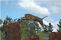 Pure  power and beauty as Orana Wildlife Park  Tiger leaps