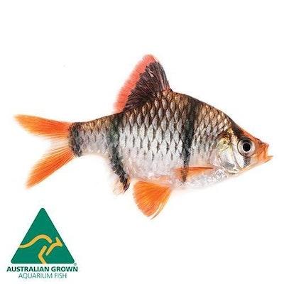 Aquarium Industries Fish L Barb Tiger 4cm