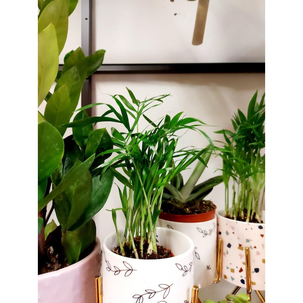 Pretty Cactus Plants  Parlour Palm / Chamaedorea Elegans- Medium Sized Easy Care Houseplant In 5.5cm Pot. Popular Houseplant. Pet Safe.
