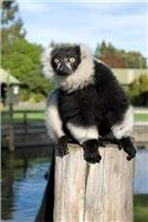 Orana is  part of  Lemur international breeding program
