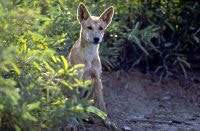 Dingoes can and do cause harm to humans, says Azaria Coroner