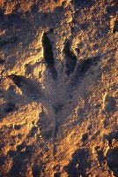 Dinosaur footprint, Gantheaume  Pt, Broome, courtesy Tourism WA