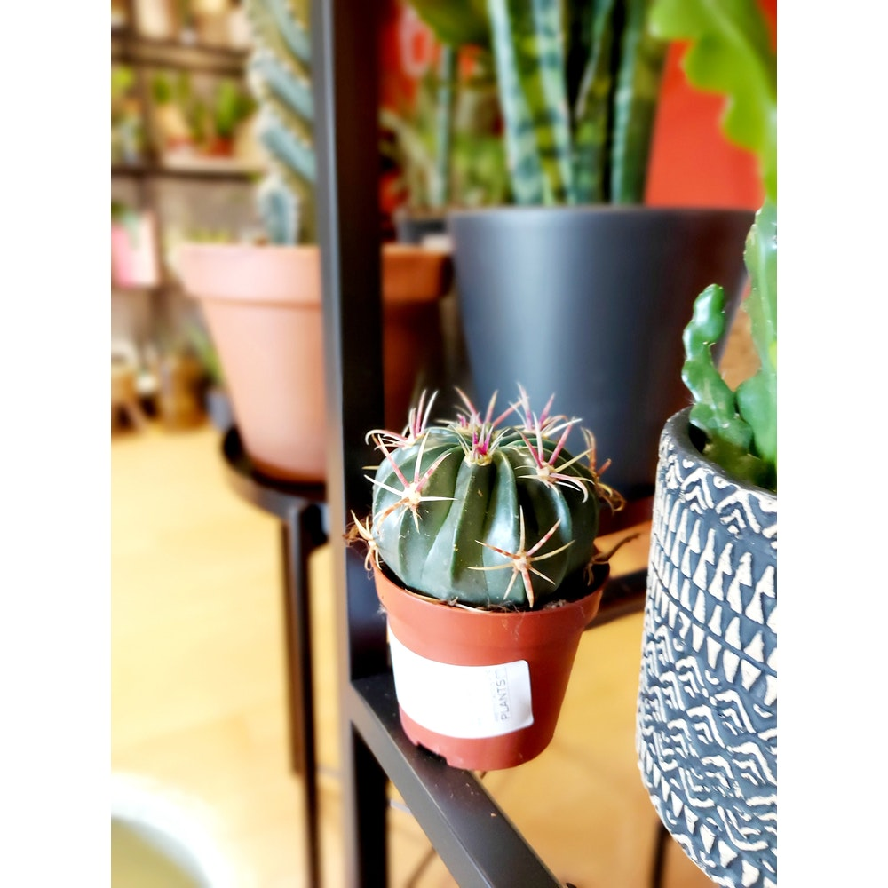 Pretty Cactus Plants  Devil's Barrel Cactus / Ferocactus Latispinus - Easy Care Plant In 8.5cm Pot. Pet Safe.