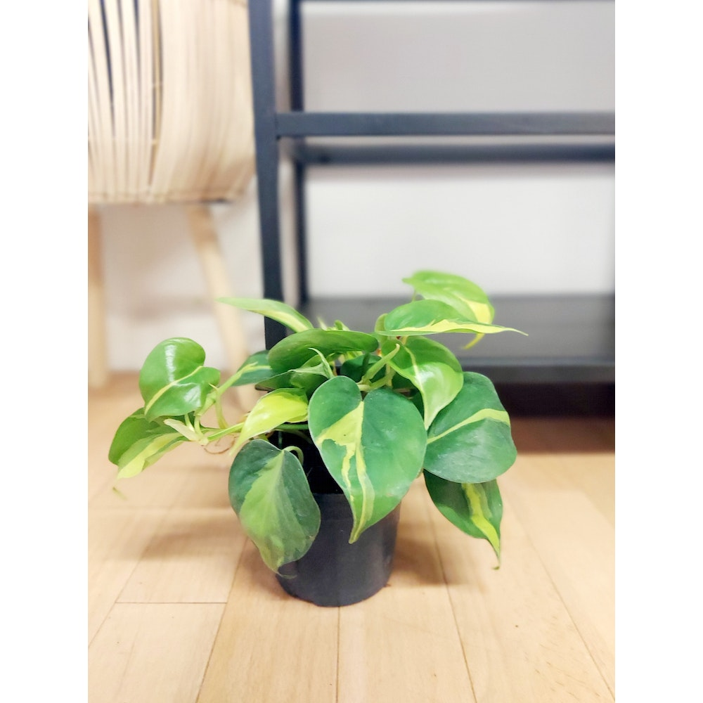 Pretty Cactus Plants  Variegated Sweetheart Plant / Philodendron Scandens Brasil - Easy Care Houseplant In 12cm Pot